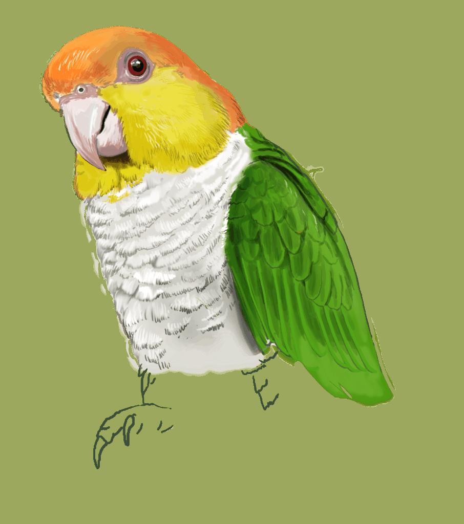 bird breeding   psittacus usa