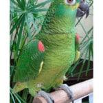 breeder birds | yacos