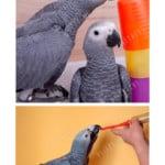 african grey parrot breeding birds psittacus