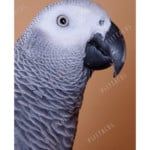 parrots | african grey parrot | yacos